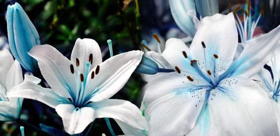 Лилии голубые